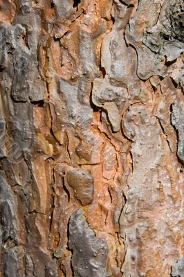 Texture from a pine bark