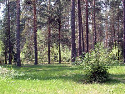coniferous forest