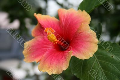 gumamela flower - Hibiscus rosa-sinensis