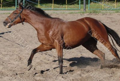 Jumping and running equestrian horse