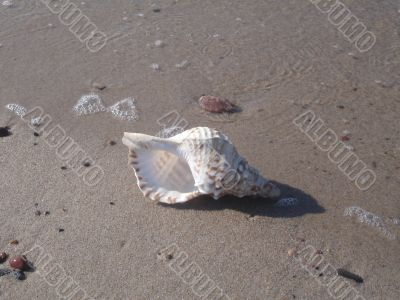 Sea cockleshell on sand