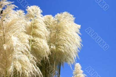 Reed feathers