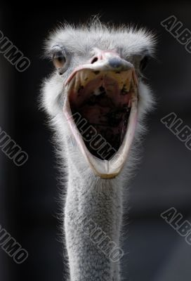 ostrich with open mouth screaming