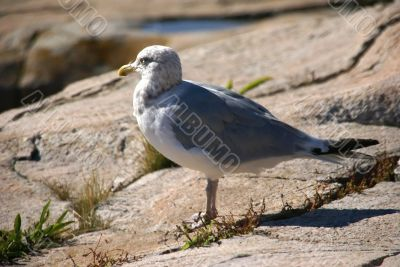 Herring gull on granite rock