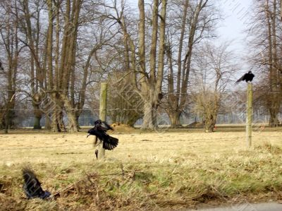 rooks fighting by a country road
