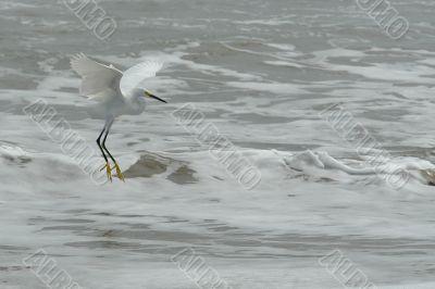 the fly of ecuadorian white heron