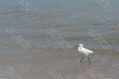 the ecuadorian white heron
