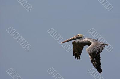 the ecuadorian pelican