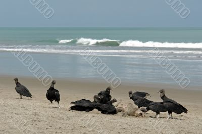 carrion-crows eating the dead turtle