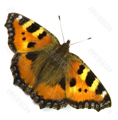 The butterfly with yellow - orange wings.