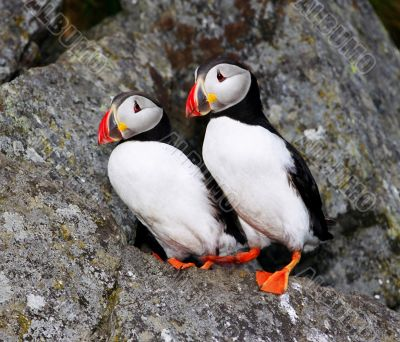 Two fraterculas (puffins) on the cliffnear hole.