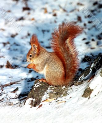 Grey squirrel, red tail on the snow.