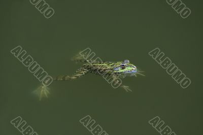 Frog in the green water
