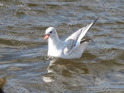 swimming gull with open beak