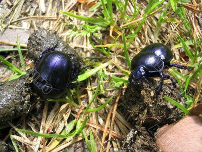 dung beetles working