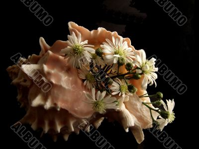 Still Life with Shell and Daisies