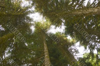crowns of high trees