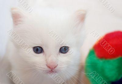 Pensive white kitten with blue eyes - closeup