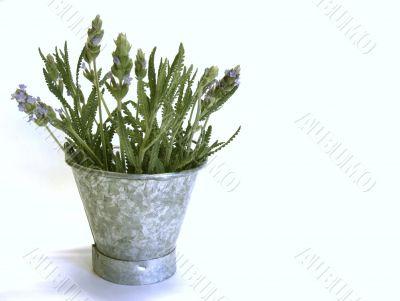 Lavender in Tin Bucket