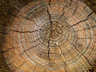 Stub in a coniferous wood