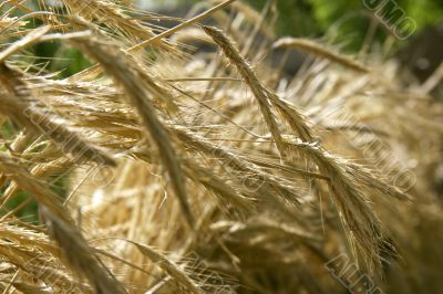 close up of wheat spikes