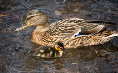 Duck and its nestling