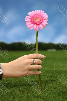 daisy flower in pink