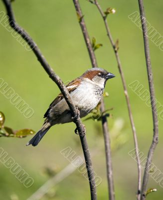 Sparrow on a green spring background