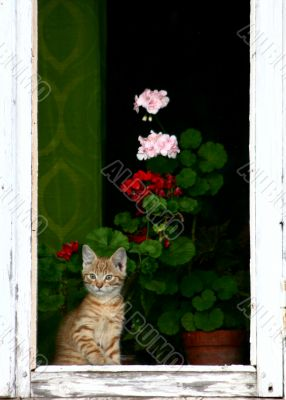 Red cat on window with geranium flowers