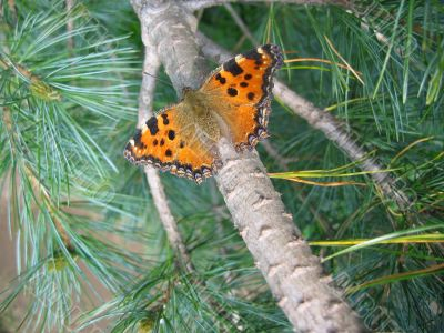Butterfly among conifer needles