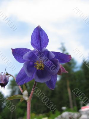 Alpine bellflower