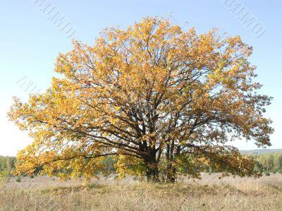 Oak in the autumn