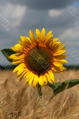 Beautiful sunflower graphic