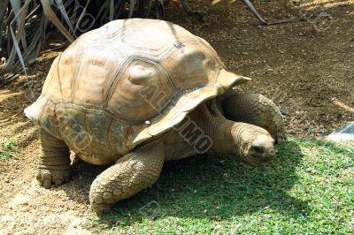 Walking tortoise