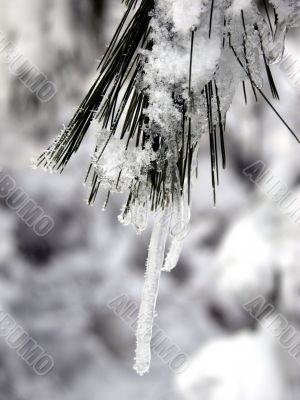Icicle on pine branch