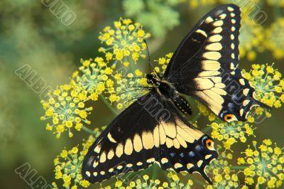 the ecuadorian butterfly