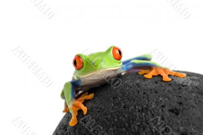 frog on a rock isolated white