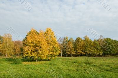 yellow trees in a green field