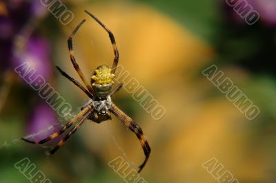 the ecuadorian spider