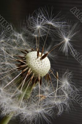 Broken grey dandelion