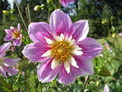 blossom of the dahlia