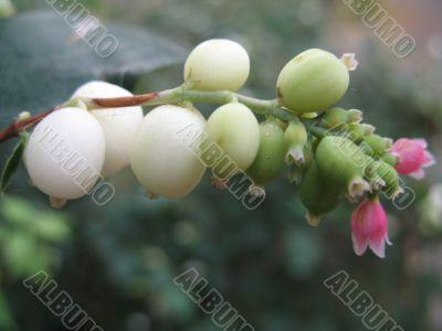 white wild berry
