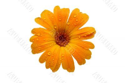 yellow wet gerber daisy over white
