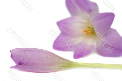 Two lilac flowers