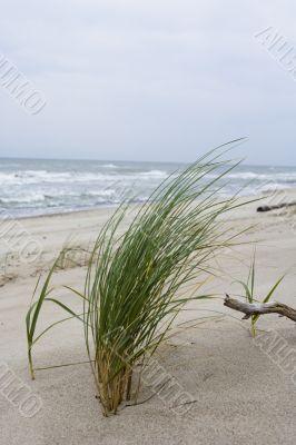 Herb ashore
