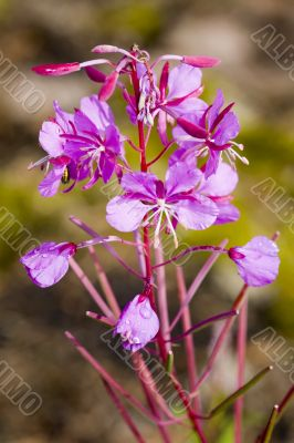 willow-herb