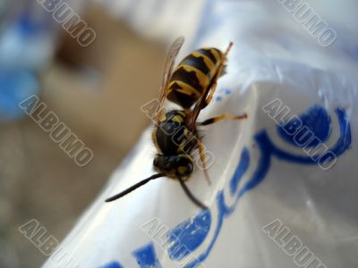Wasp on table side