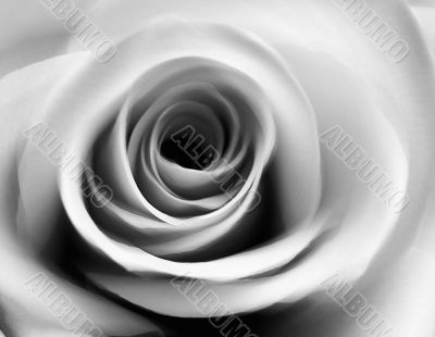 Soft black and white rose