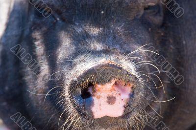 pig`s nose
