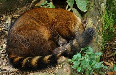 sleeping koati